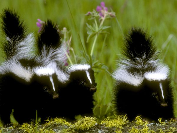 Removing Skunk Odors from your Pets
